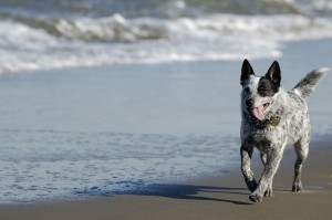 Australian cattle dog walking on the beach
