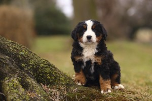 Bernese mountain dog pubby sitting on ground