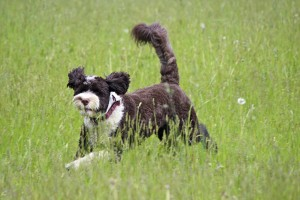 Portugese water dog running in a field of grass