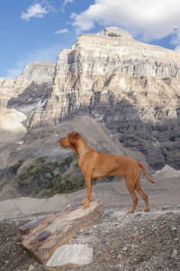 Vizsla in the mountains